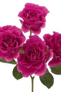 Spray-Rose-Pink-Sensation-Stem-350_3e9d208d