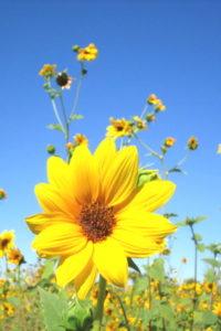 Yellow-flower-field-beautiful
