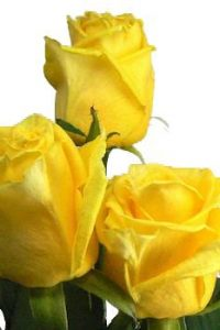 bright_canary_yellow_roses