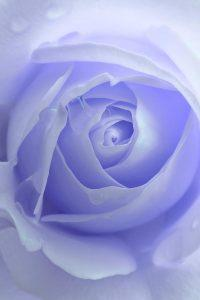 pastel-purple-rose-flower-jennie-marie-schell
