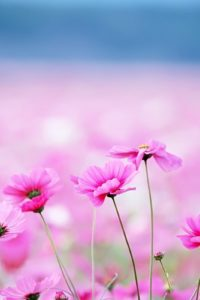 pink-flower-pc-wallpaper