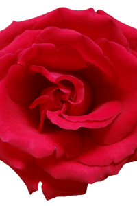 red_rose_png_1_by_mysticemma-d63699y